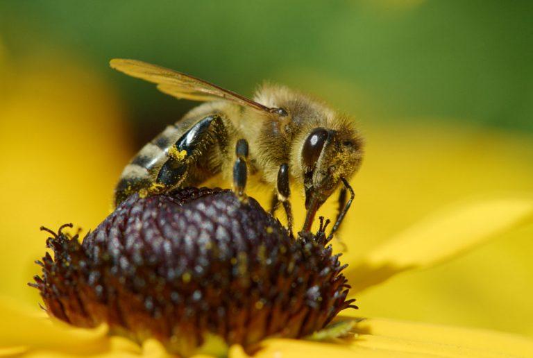 Biene auf gelber Sonnenhutblüte