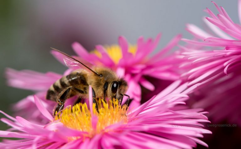 Biene auf Winterasterblüte