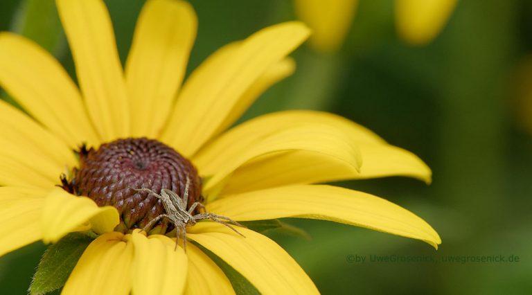 gelbe Sonnenhutblüte